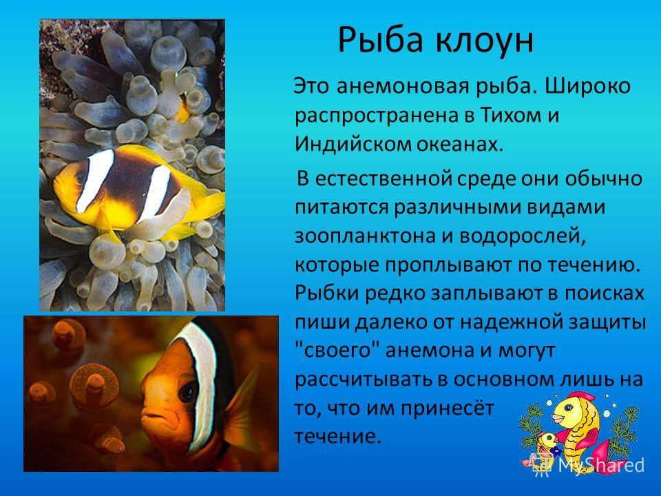 Рыба клоун Это анемоновая рыба. Широко распространена в Тихом и Индийском океанах. В естественной среде они обычно питаются различными видами зоопланктона и водорослей, которые проплывают по течению. Рыбки редко заплывают в поисках пиши далеко от над