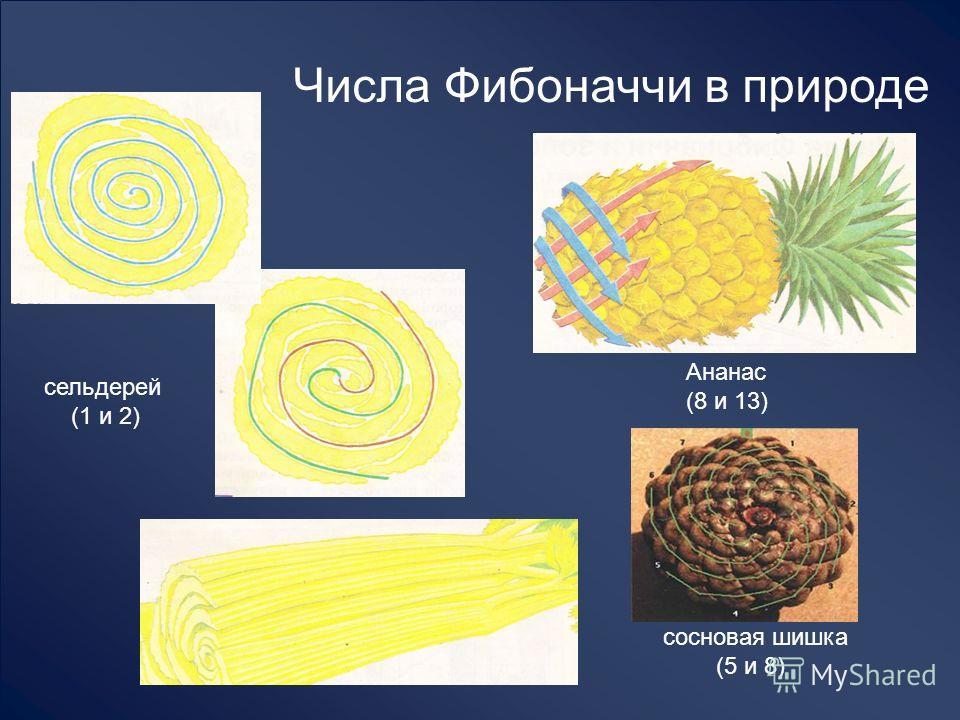 Числа Фибоначчи в природе сельдерей (1 и 2) Ананас (8 и 13) сосновая шишка (5 и 8)
