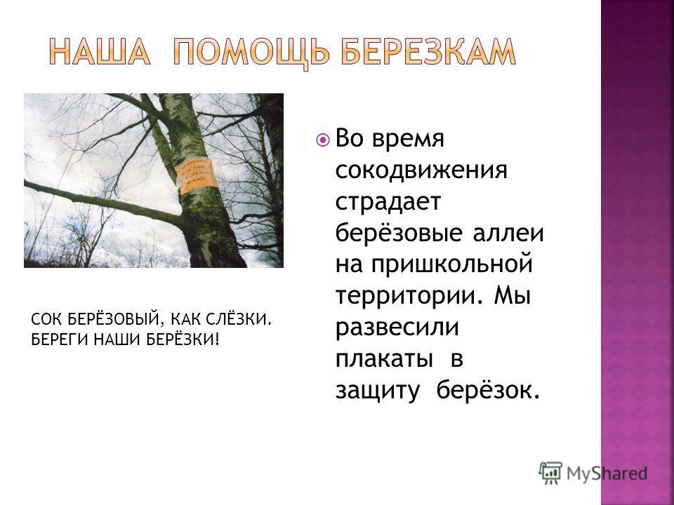 Во время сокодвижения страдает берёзовые аллеи на пришкольной территории. Мы развесили плакаты в защиту берёзок. СОК БЕРЁЗОВЫЙ, КАК СЛЁЗКИ. БЕРЕГИ НАШИ БЕРЁЗКИ!