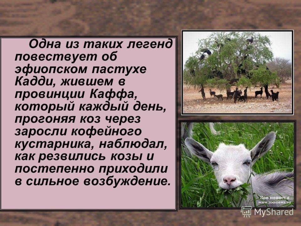Одна из таких легенд повествует об эфиопском пастухе Кадди, жившем в провинции Каффа, который каждый день, прогоняя коз через заросли кофейного кустарника, наблюдал, как резвились козы и постепенно приходили в сильное возбуждение.