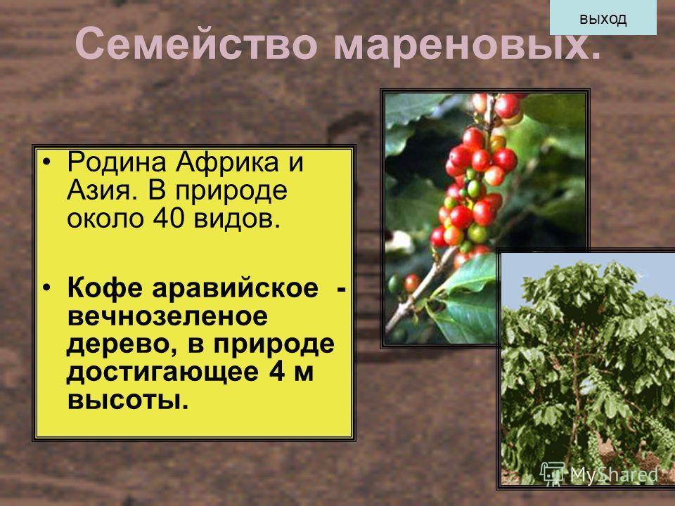 Семейство мареновых. Родина Африка и Азия. В природе около 40 видов. Кофе аравийское - вечнозеленое дерево, в природе достигающее 4 м высоты. выход