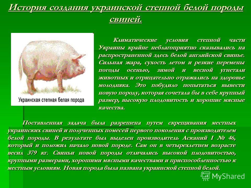 Климатические условия степной части Украины крайне неблагоприятно сказывались на распространенной здесь белой английской свинье. Сильная жара, сухость летом и резкие перемены погоды осенью, зимой и весной угнетали животных и отрицательно отражались н