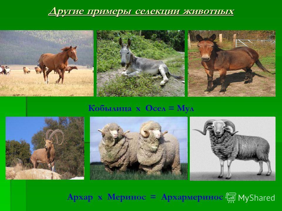 Архар х Меринос = Архармеринос Другие примеры селекции животных Кобылица х Осел = Мул