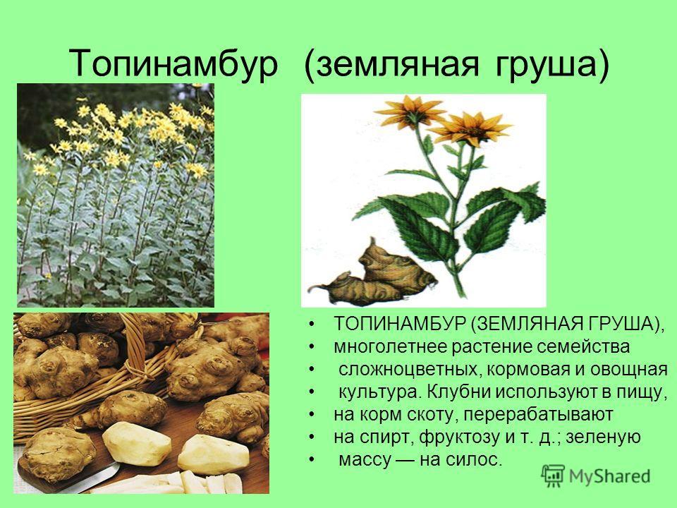 Топинамбур (земляная груша) ТОПИНАМБУР (ЗЕМЛЯНАЯ ГРУША), многолетнее растение семейства сложноцветных, кормовая и овощная культура. Клубни используют в пищу, на корм скоту, перерабатывают на спирт, фруктозу и т. д.; зеленую массу на силос.