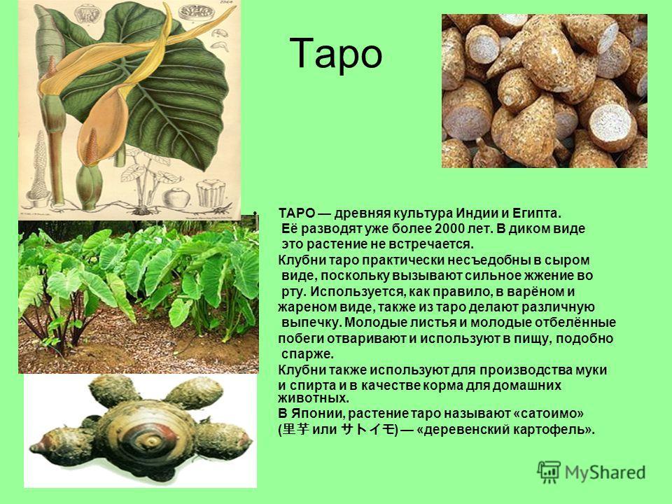 Таро ТАРО древняя культура Индии и Египта. Её разводят уже более 2000 лет. В диком виде это растение не встречается. Клубни таро практически несъедобны в сыром виде, поскольку вызывают сильное жжение во рту. Используется, как правило, в варёном и жар