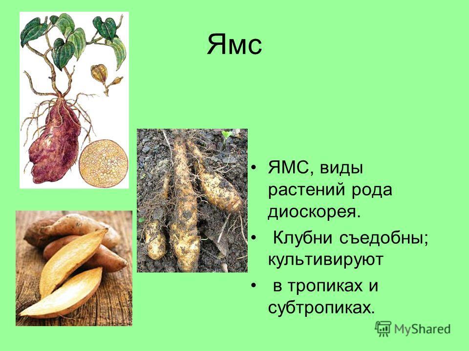 Ямс ЯМС, виды растений рода диоскорея. Клубни съедобны; культивируют в тропиках и субтропиках.
