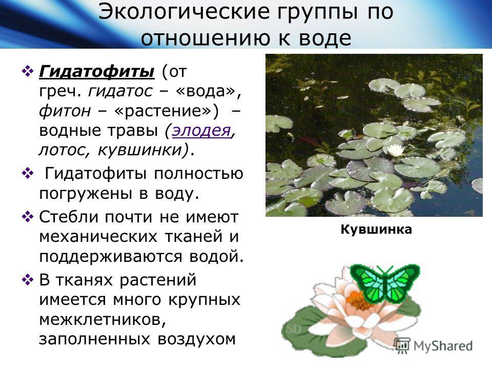 Экологические группы по отношению к воде Гидатофиты (от греч. гидатос – «вода», фитон – «растение») – водные травы (элодея, лотос, кувшинки).элодея Гидатофиты полностью погружены в воду. Стебли почти не имеют механических тканей и поддерживаются водо