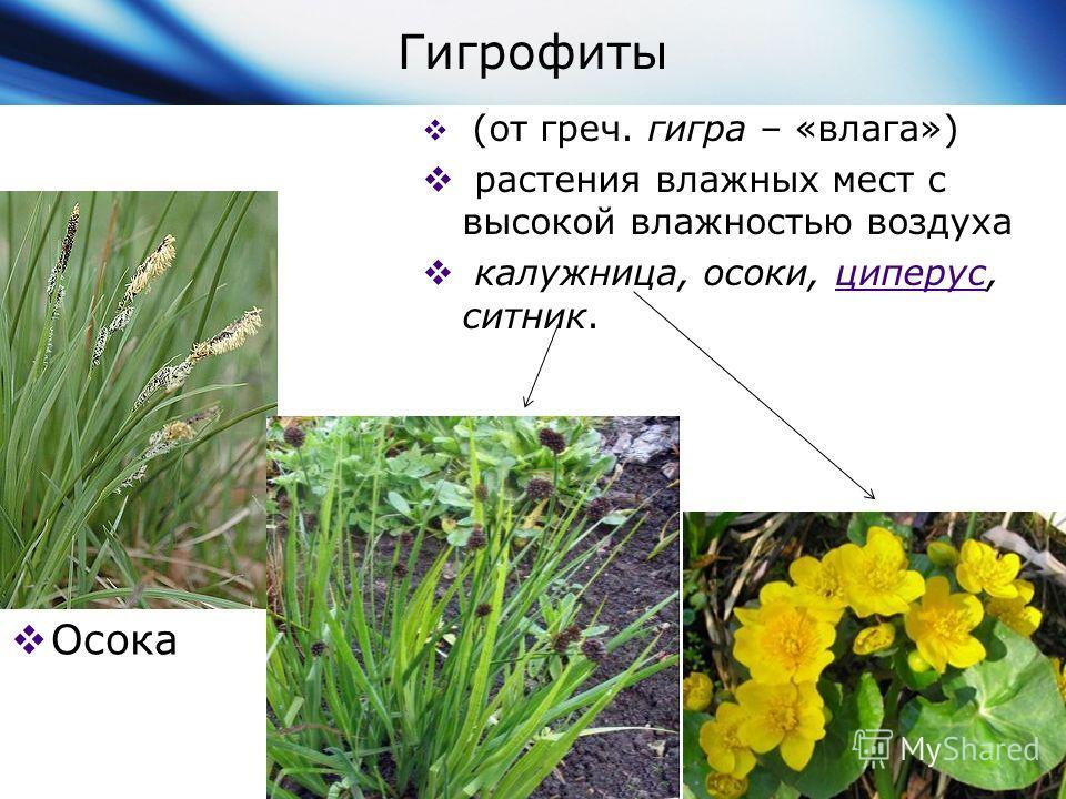 Гигрофиты Осока (от греч. гигра – «влага») растения влажных мест с высокой влажностью воздуха калужница, осоки, циперус, ситник.циперус