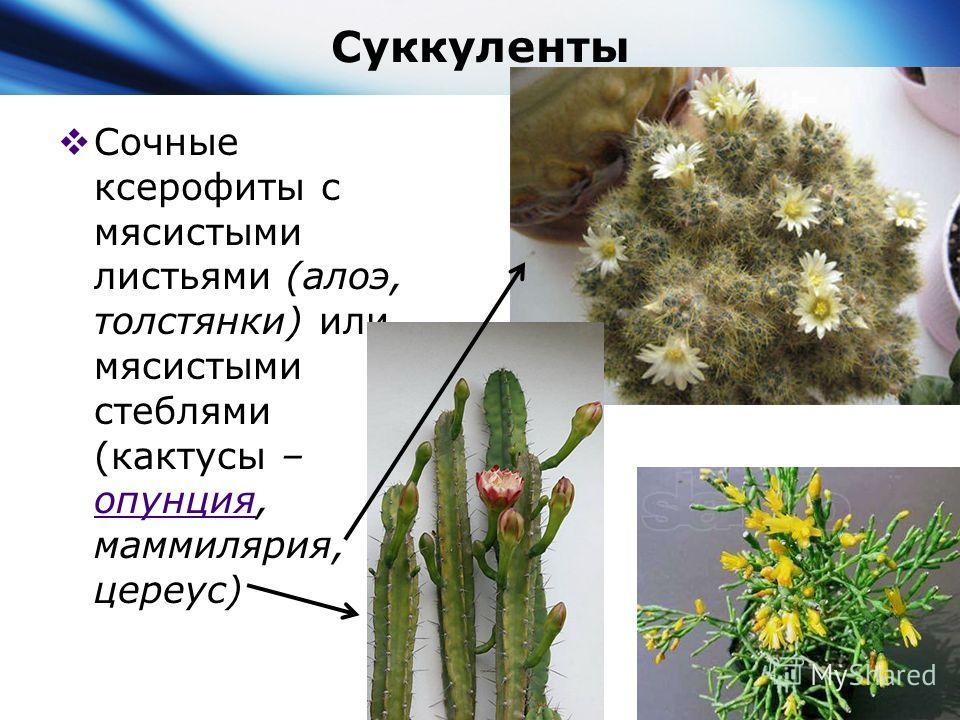 Суккуленты Сочные ксерофиты с мясистыми листьями (алоэ, толстянки) или мясистыми стеблями (кактусы – опунция, маммилярия, цереус) опунция