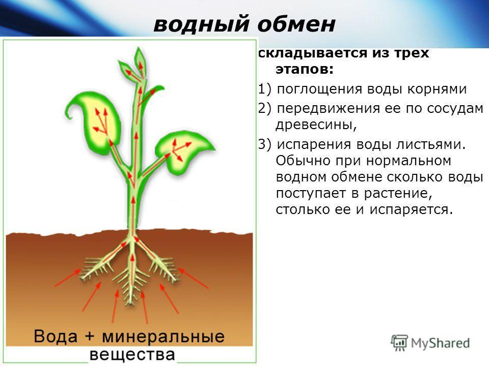 водный обмен складывается из трех этапов: 1) поглощения воды корнями 2) передвижения ее по сосудам древесины, 3) испарения воды листьями. Обычно при нормальном водном обмене сколько воды поступает в растение, столько ее и испаряется.