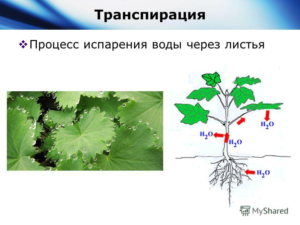 Поступление И Передвижение Воды По Растению Презентация