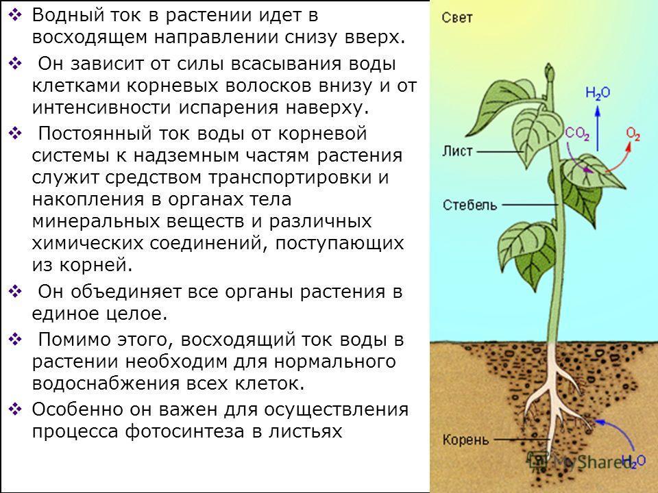 Водный ток в растении идет в восходящем направлении снизу вверх. Он зависит от силы всасывания воды клетками корневых волосков внизу и от интенсивности испарения наверху. Постоянный ток воды от корневой системы к надземным частям растения служит сред