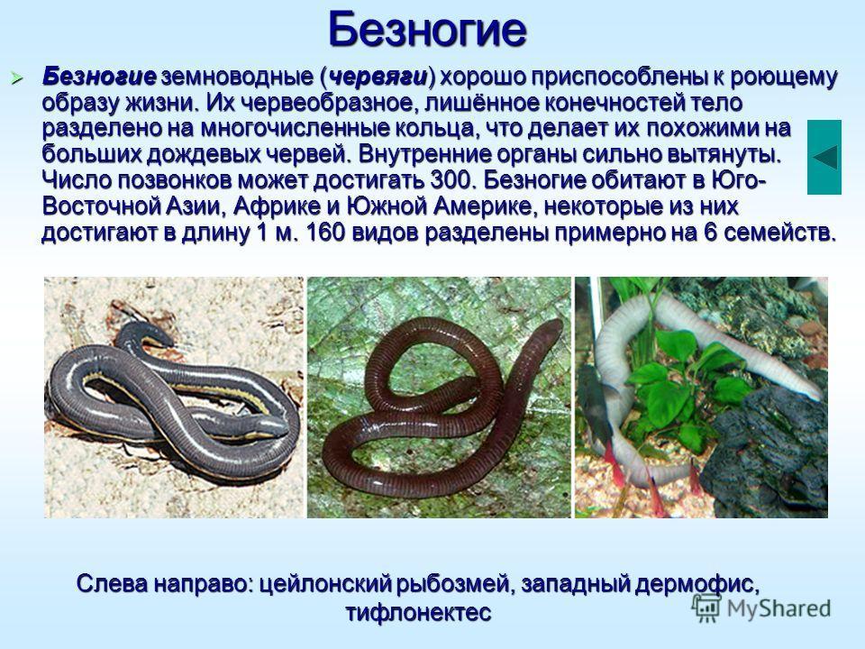 Безногие Безногие земноводные (червяги) хорошо приспособлены к роющему образу жизни. Их червеобразное, лишённое конечностей тело разделено на многочисленные кольца, что делает их похожими на больших дождевых червей. Внутренние органы сильно вытянуты.