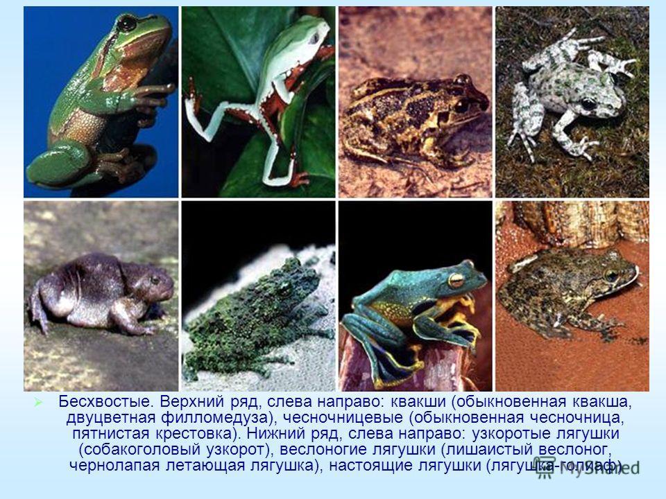 ) Бесхвостые. Верхний ряд, слева направо: квакши (обыкновенная квакша, двуцветная филломедуза), чесночницевые (обыкновенная чесночница, пятнистая крестовка). Нижний ряд, слева направо: узкоротые лягушки (собакоголовый узкорот), веслоногие лягушки (ли