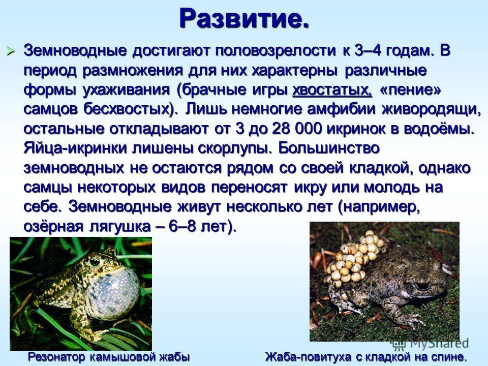 Развитие. Земноводные достигают половозрелости к 3–4 годам. В период размножения для них характерны различные формы ухаживания (брачные игры хвостатых, «пение» самцов бесхвостых). Лишь немногие амфибии живородящи, остальные откладывают от 3 до 28 000