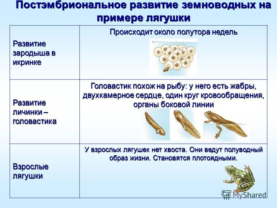 Постэмбриональное развитие земноводных на примере лягушки Развитие зародыша в икринке Происходит около полутора недель Развитие личинки – головастика Головастик похож на рыбу: у него есть жабры, двухкамерное сердце, один круг кровообращения, органы б