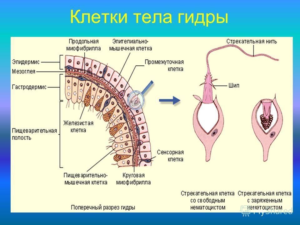 Клетки тела гидры