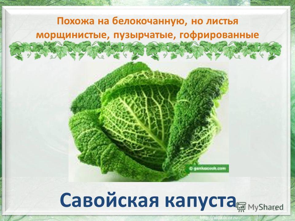 Похожа на белокочанную, но листья морщинистые, пузырчатые, гофрированные Савойская капуста 10