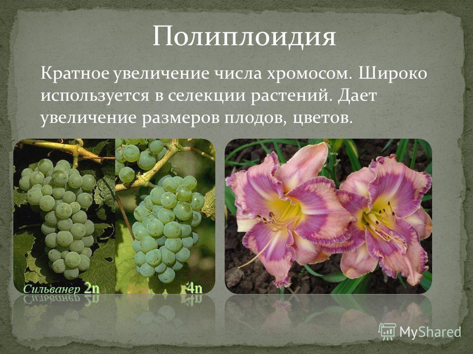 Полиплоидия Кратное увеличение числа хромосом. Широко используется в селекции растений. Дает увеличение размеров плодов, цветов.