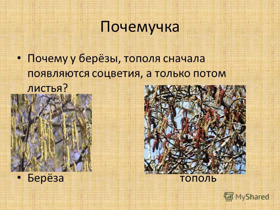 Почемучка Почему у берёзы, тополя сначала появляются соцветия, а только потом листья? Берёза тополь