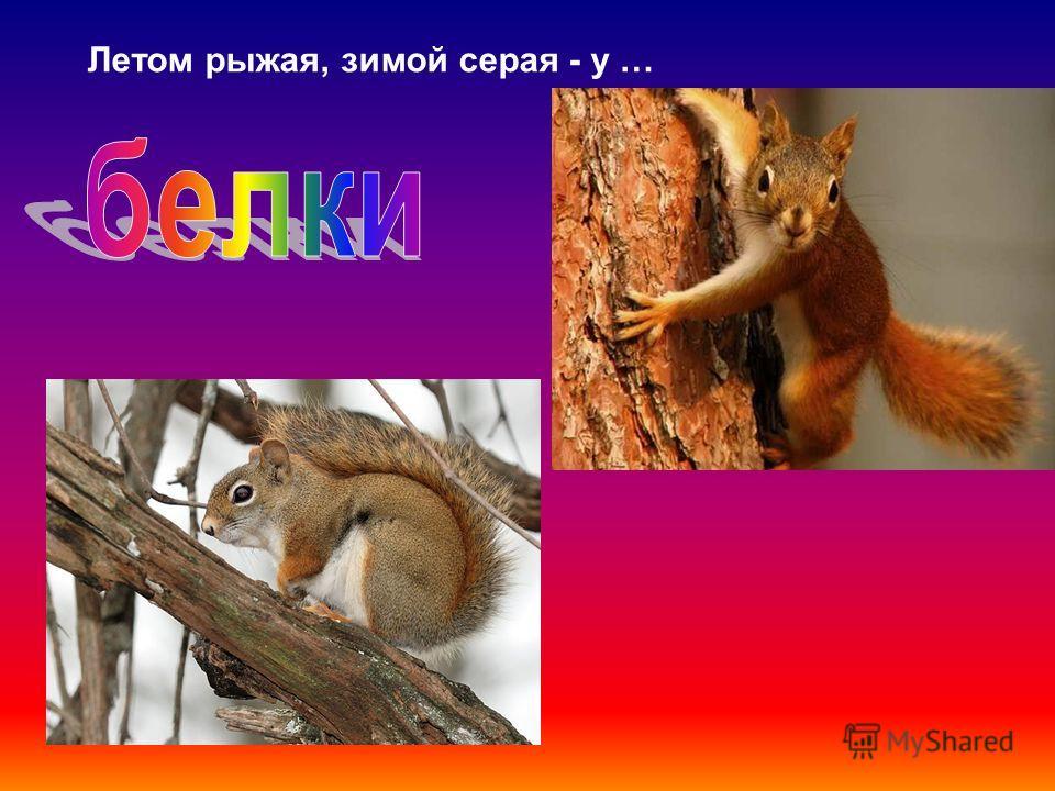 Летом рыжая, зимой серая - у …