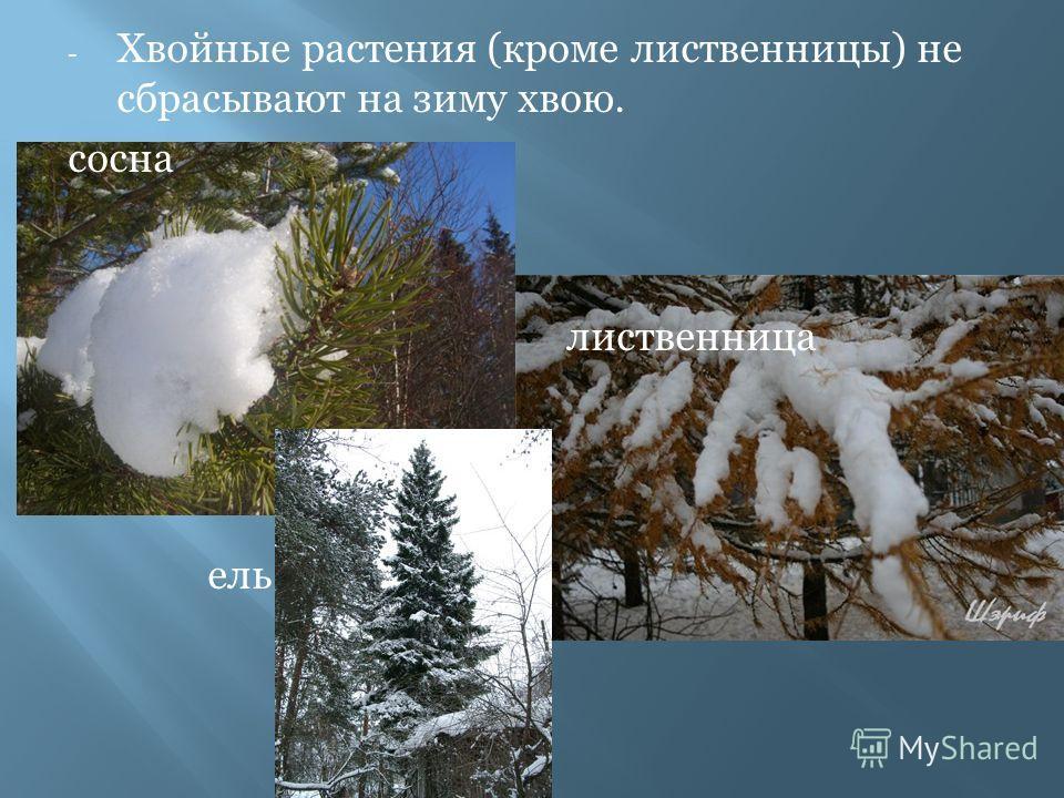- Хвойные растения (кроме лиственницы) не сбрасывают на зиму хвою. сосна лиственница ель