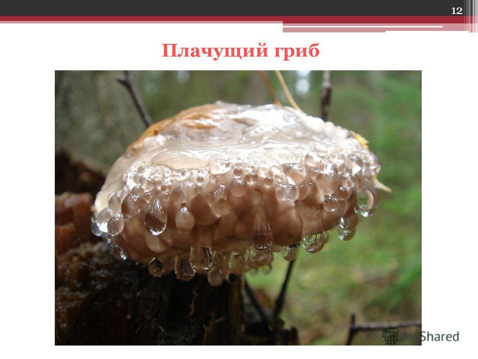12 Плачущий гриб