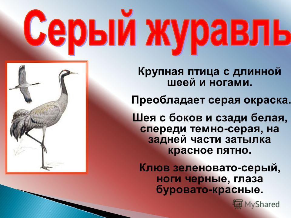 Крупная птица с длинной шеей и ногами. Преобладает серая окраска. Шея с боков и сзади белая, спереди темно-серая, на задней части затылка красное пятно. Клюв зеленовато-серый, ноги черные, глаза буровато-красные.
