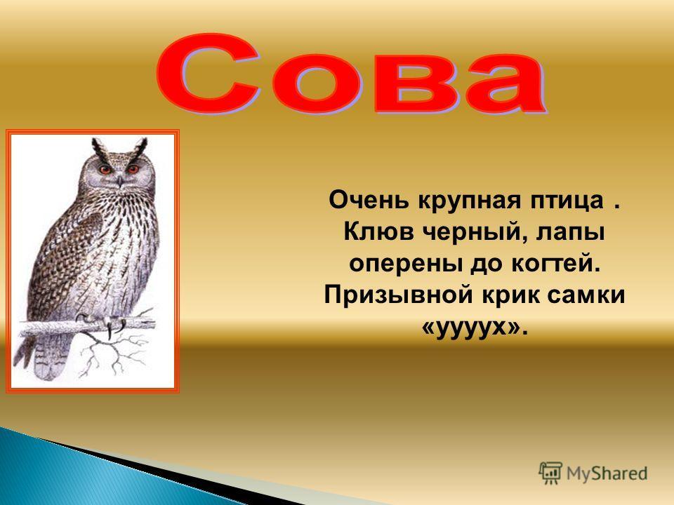 Очень крупная птица. Клюв черный, лапы оперены до когтей. Призывной крик самки «уууух».