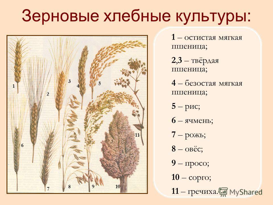 1 – остистая мягкая пшеница; 2,3 – твёрдая пшеница; 4 – безостая мягкая пшеница; 5 – рис; 6 – ячмень; 7 – рожь; 8 – овёс; 9 – просо; 10 – сорго; 11 – гречиха. Зерновые хлебные культуры: 1 2 3 5 4 6 7 8910 11