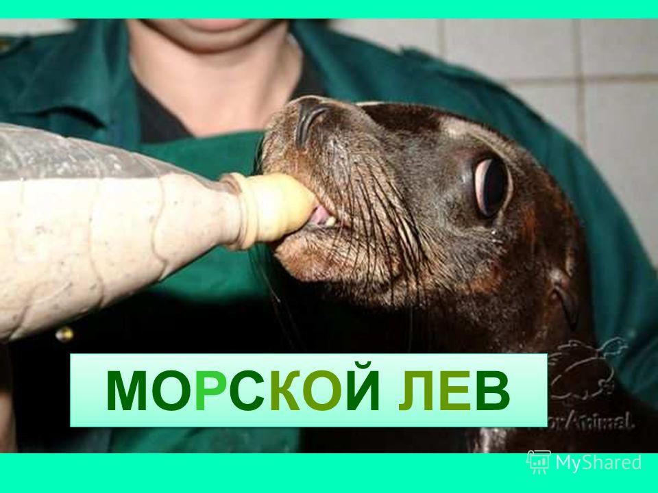 МОРСКОЙ ЛЕВ Морской лев