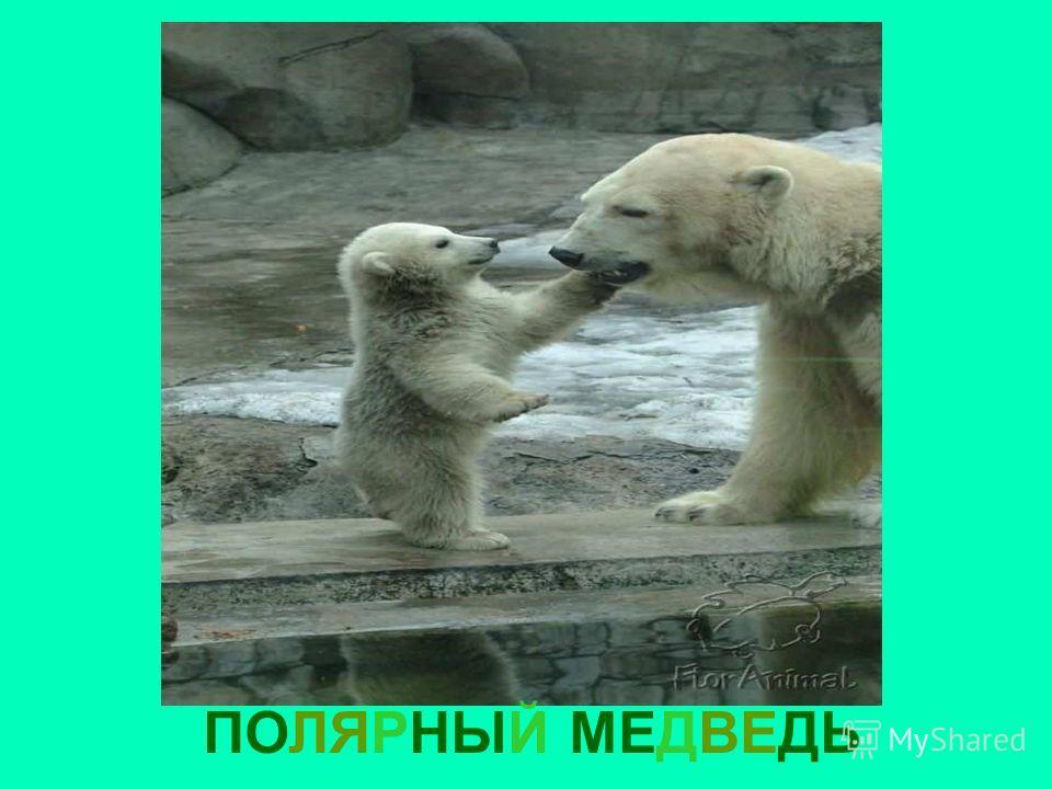ПОЛЯРНЫЙ МЕДВЕДЬ Полярный медведь
