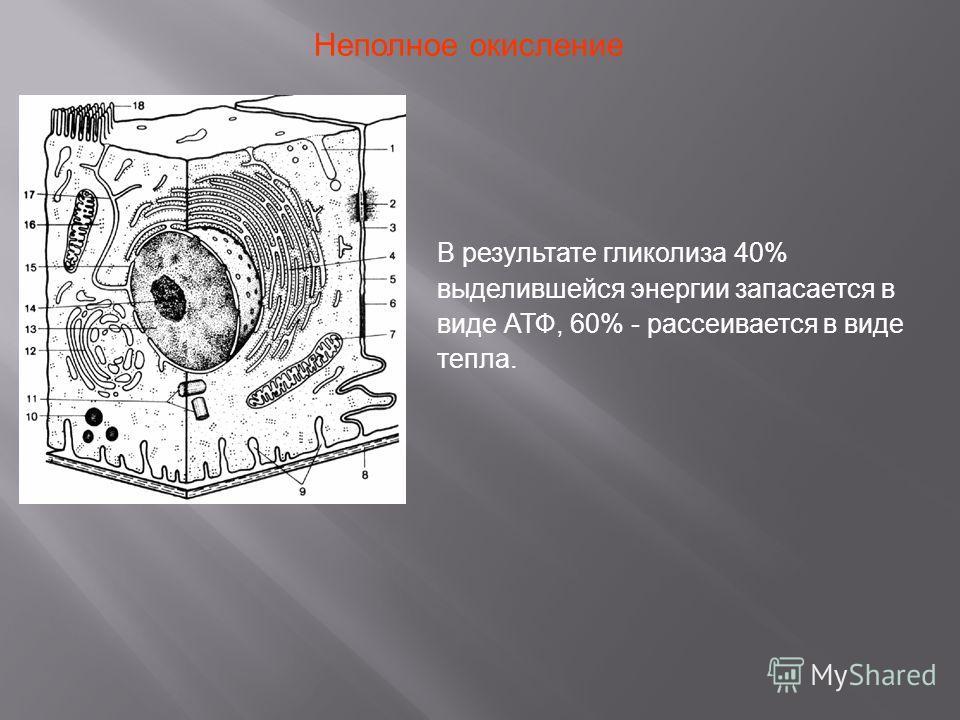 В результате гликолиза 40% выделившейся энергии запасается в виде АТФ, 60% - рассеивается в виде тепла. Неполное окисление