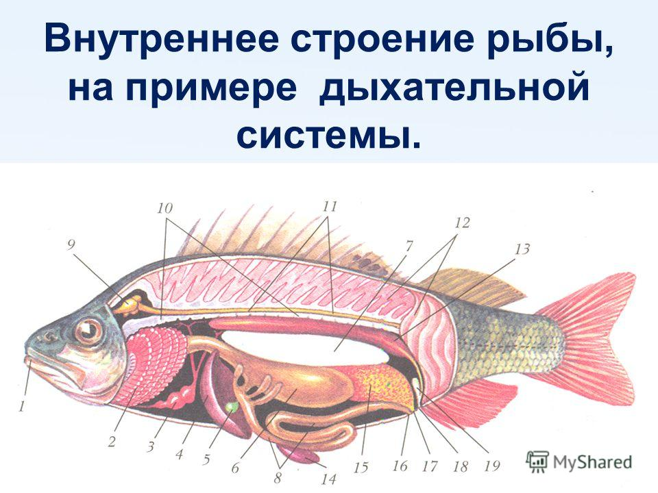 Внутреннее строение рыбы, на примере дыхательной системы.