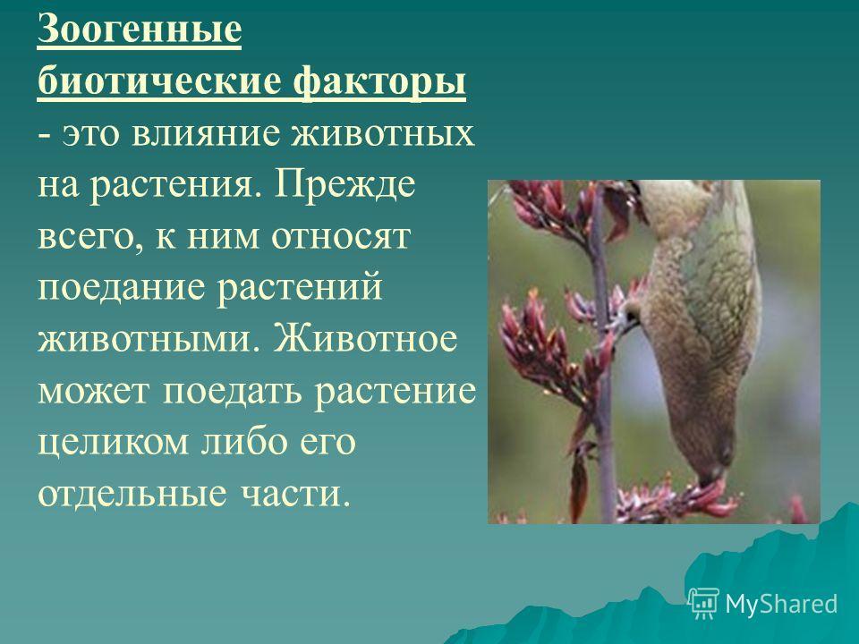 Зоогенные биотические факторы - это влияние животных на растения. Прежде всего, к ним относят поедание растений животными. Животное может поедать растение целиком либо его отдельные части.