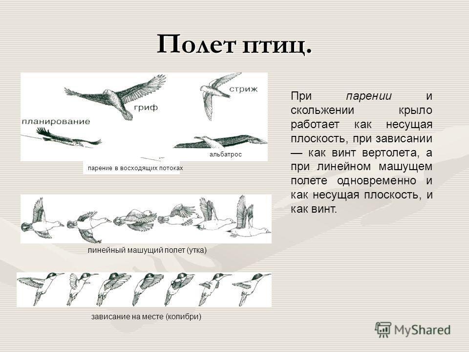 Механизм подъема и опускания крыла и крыло сизого голубя. малая грудная мышца (поднимает крыло) плечо предплечье плечо большая грудная мышца (опускает крыло) первостепенные маховые перья крылышко киль лопатка второстепенные маховые перья
