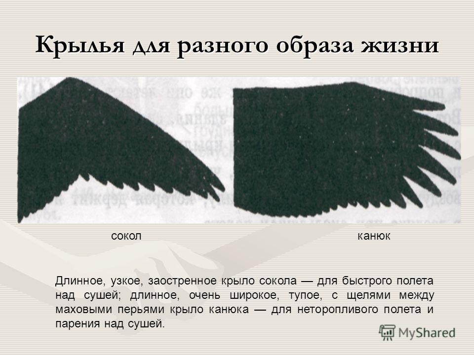Полет птиц. парение в восходящих потоках линейный машущий полет (утка) зависание на месте (колибри) альбатрос При парении и скольжении крыло работает как несущая плоскость, при зависании как винт вертолета, а при линейном машущем полете одновременно