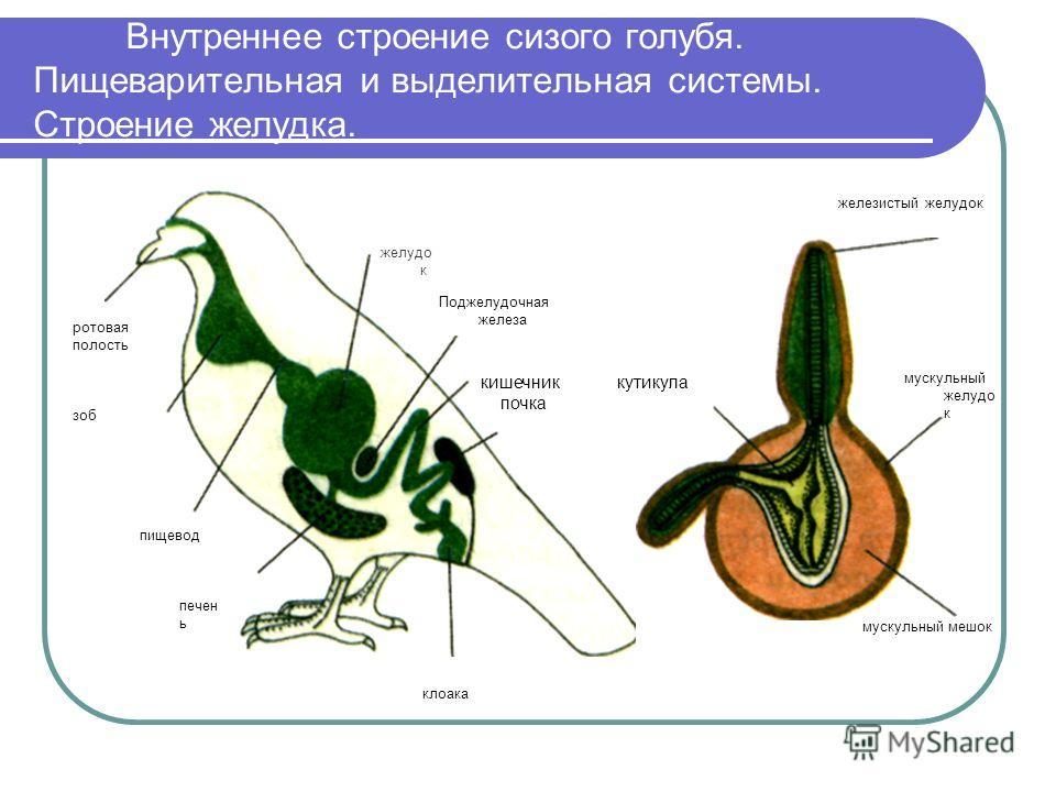 Внутреннее строение сизого голубя. Пищеварительная и выделительная системы. Строение желудка. желудо к Поджелудочная железа мускульный желудо к железистый желудок мускульный мешок клоака пищевод печен ь кишечник кутикула почка ротовая полость зоб