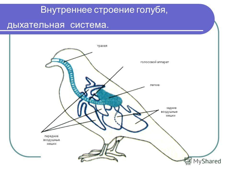 Внутреннее строение голубя, дыхательная система. передние воздушные мешки голосовой аппарат легкие задние воздушные мешки трахея