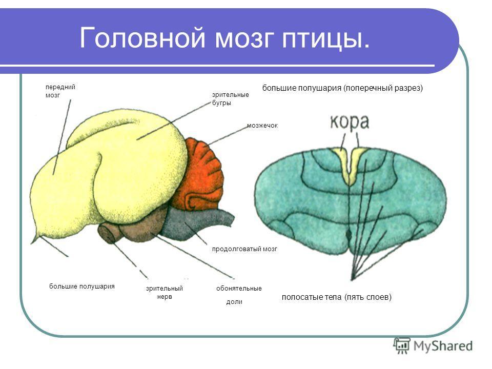 Головной мозг птицы. передний мозг большие полушария большие полушария (поперечный разрез) полосатые тела (пять слоев) продолговатый мозг обонятельные доли зрительный нерв мозжечок зрительные бугры