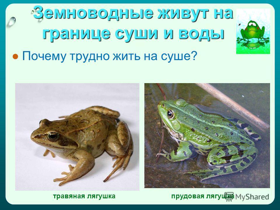 Земноводные живут на границе суши и воды Почему трудно жить на суше? травяная лягушкапрудовая лягушка