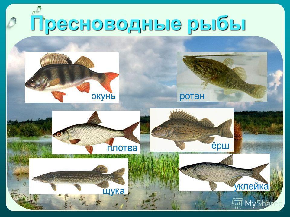 Пресноводные рыбы окуньротан плотва щука ёрш уклейка