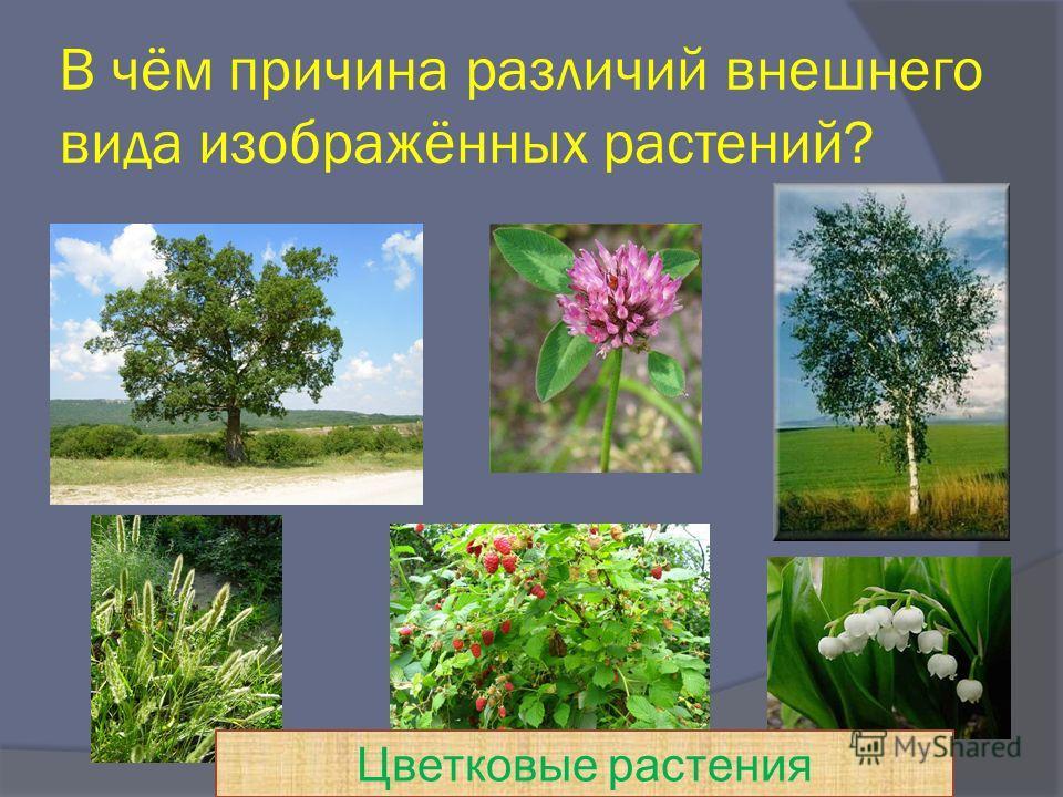 В чём причина различий внешнего вида изображённых растений? Цветковые растения
