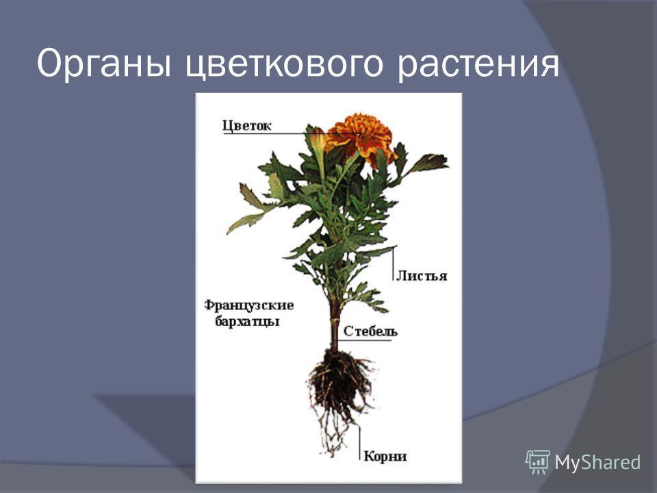 Органы цветкового растения