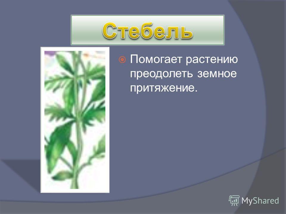 Помогает растению преодолеть земное притяжение.