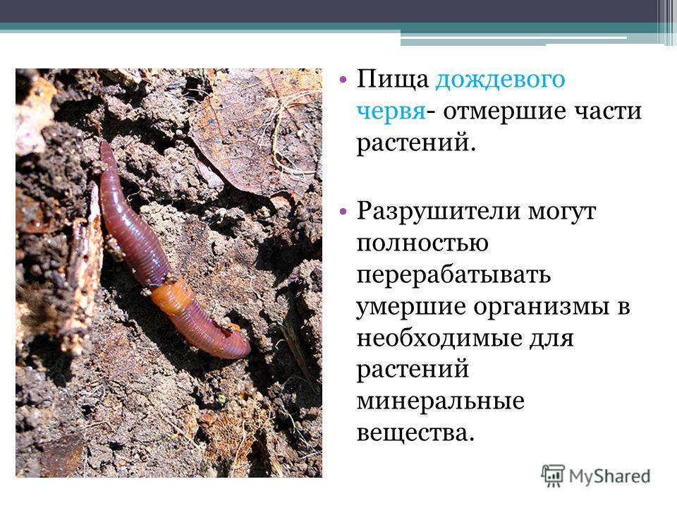 Пища дождевого червя- отмершие части растений. Разрушители могут полностью перерабатывать умершие организмы в необходимые для растений минеральные вещества.