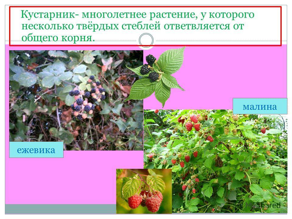 Кустарник- многолетнее растение, у которого несколько твёрдых стеблей ответвляется от общего корня. ежевика малина