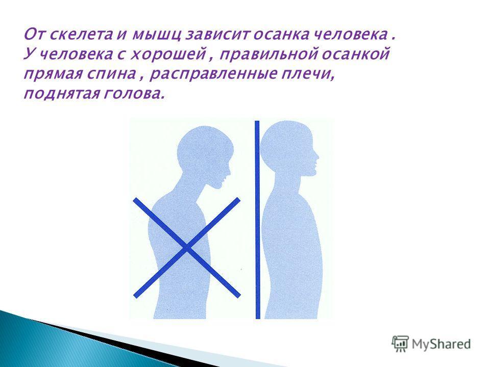 От скелета и мышц зависит осанка человека. У человека с хорошей, правильной осанкой прямая спина, расправленные плечи, поднятая голова.