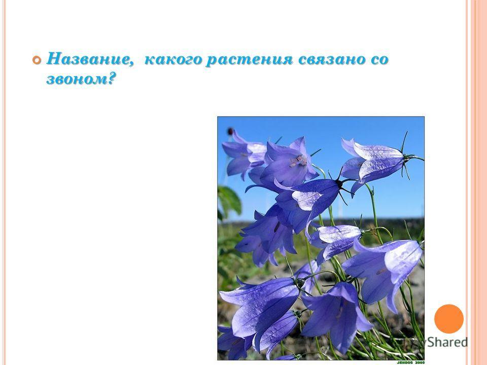 Название, какого растения связано со звоном? Название, какого растения связано со звоном?