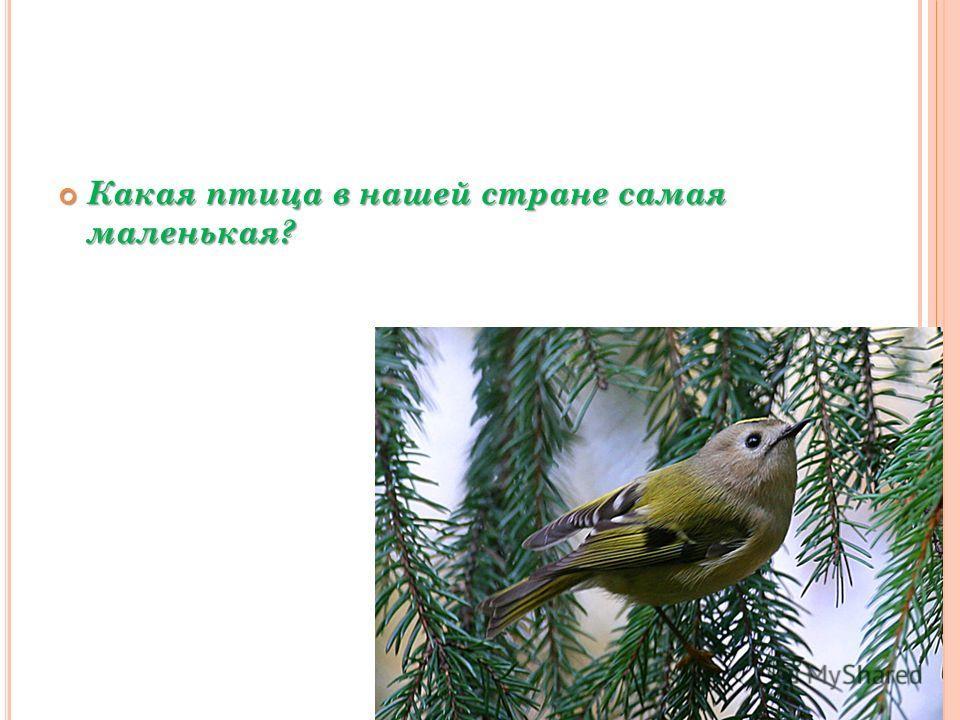 Какая птица в нашей стране самая маленькая? Какая птица в нашей стране самая маленькая?